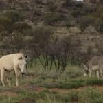 Lebensraum der Wild lebenden Esel