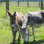 Arnica kurz vor ihrer Erkrankung mit Bijou,ihrem letzten Fohlen.