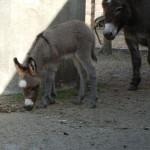 RST Yaro,das zuletzt geborene Minieselfohlen 2013
