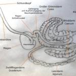 verdauungssystem-verdauung-esel