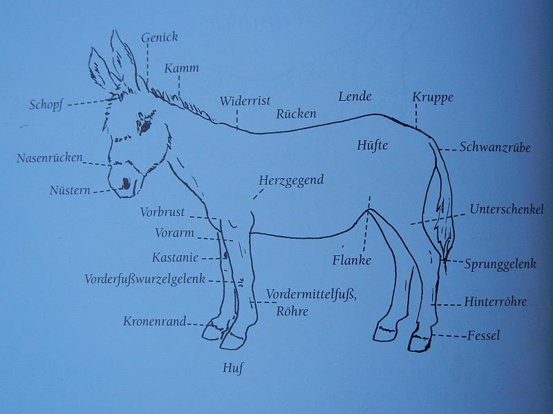 Esel-Anatomie mit Beschreibung   Esel am bloggen
